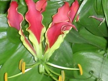 Prachtlilie